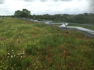 A thriving green roof in Hull showing the development of a wide range of vegetation colonising the roof